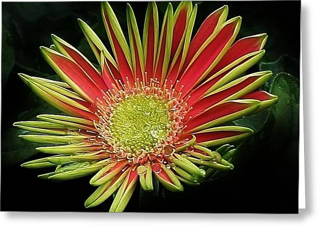 Red Gazania Blossom Greeting Card by Bruce Bley