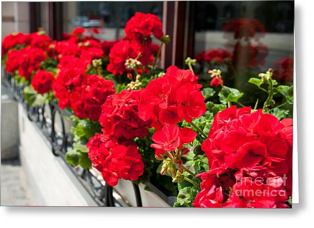 Bunches Of Vibrant Red Pelargonium Flowering  Greeting Card by Arletta Cwalina