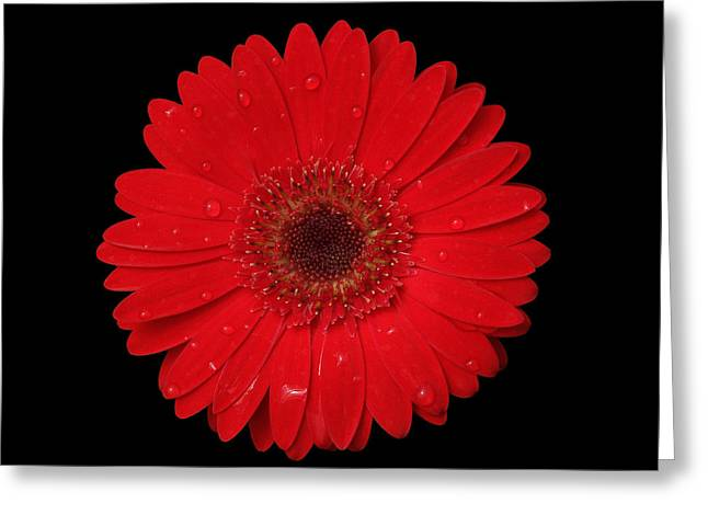 Red Gerber Daisy Greeting Card by Judy Whitton