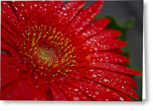 Red Gerber In The Rain Greeting Card by Shelly Gunderson