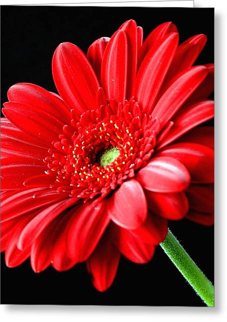 Red Gerbera Daisy Flower On Black Greeting Card by Lynne Dymond