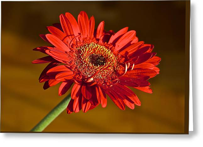 Red Gerbera Greeting Card by Venetia Featherstone-Witty