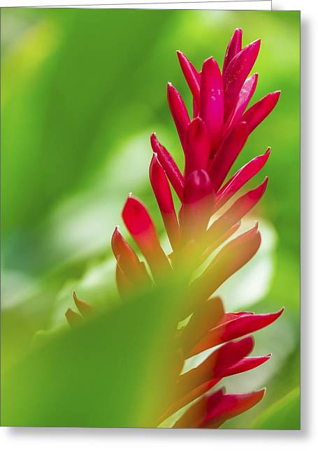 Greeting Card featuring the photograph Red Ginger Bract by Leigh Anne Meeks