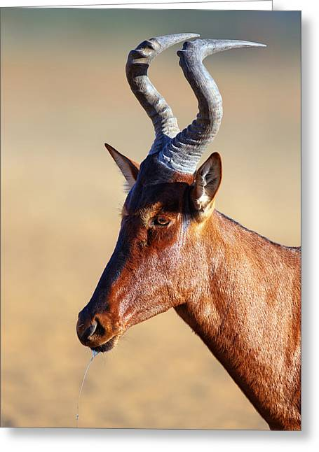 Red Hartebeest Portrait Greeting Card by Johan Swanepoel