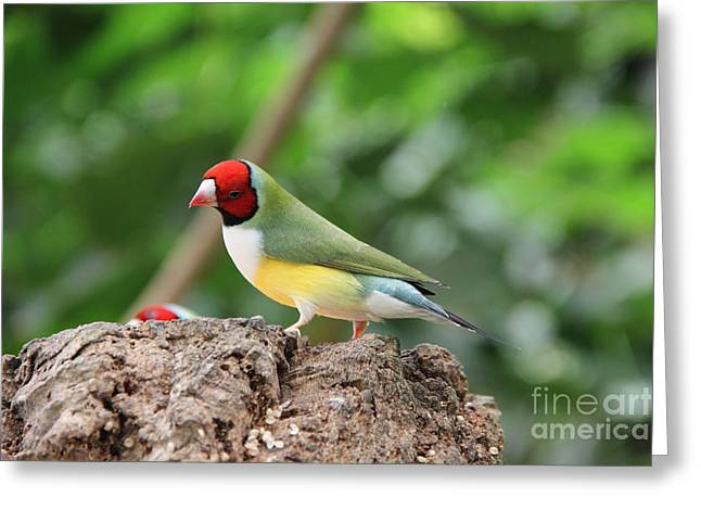Red Headed Gouldian Finch Greeting Card