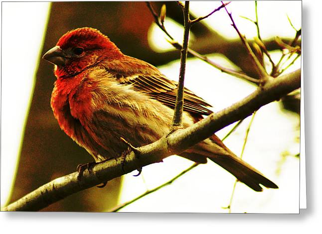 Greeting Card featuring the photograph Red Headed House Finch by B Wayne Mullins