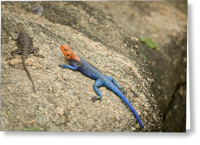 Red-headed Rock Agama Greeting Card by Photostock-israel