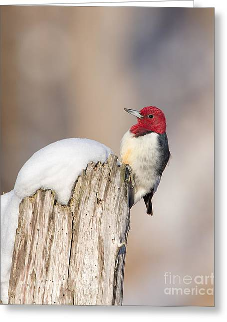 Red-headed Woodpecker Greeting Card by Joshua Clark