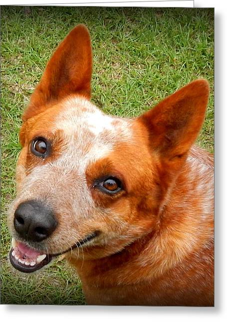 Red Heeler Greeting Card by Lynn Griffin