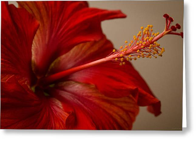 Red Hibiscus 5 Greeting Card
