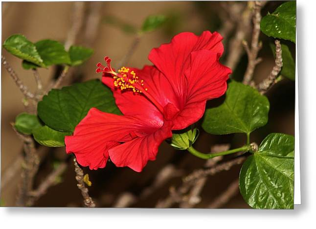 Red Hibiscus Flower Greeting Card by Cynthia Guinn