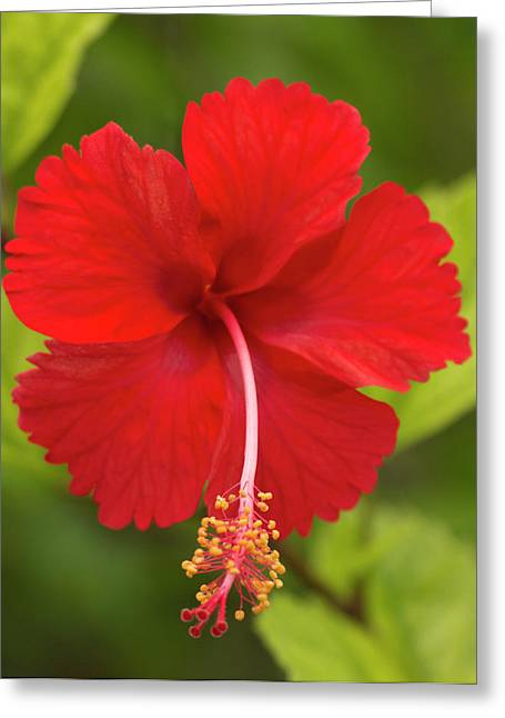 Red Hibiscus, Hibiscus Rosa-sinensis Greeting Card
