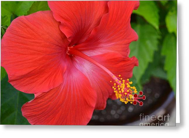 Greeting Card featuring the photograph Red Hibiscus-no2 by Darla Wood