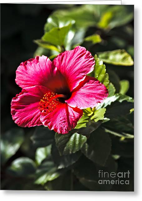 Red Hibiscus Greeting Card by Robert Bales