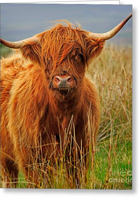 Red Highland Cow Greeting Card