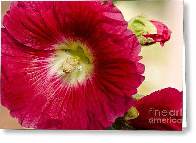 Greeting Card featuring the photograph Red Hollyhock Althaea Rosea by Sue Smith