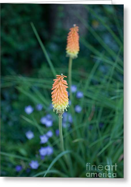 Red Hot Poker Flower Greeting Card by Kay Pickens
