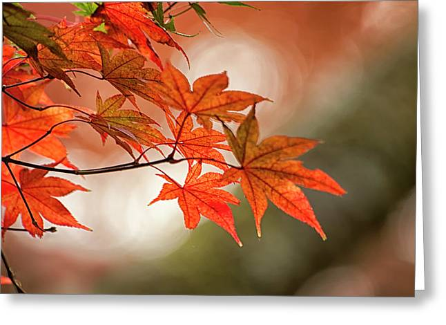 Red Japanese Maple Leaves In Fall Greeting Card by Sheila Haddad