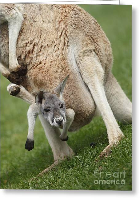 Red Kangaroo Joey Greeting Card