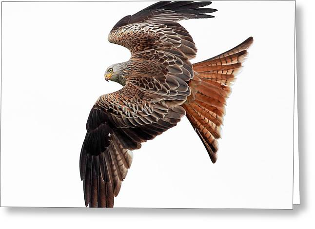 Red Kite Greeting Card by Grant Glendinning