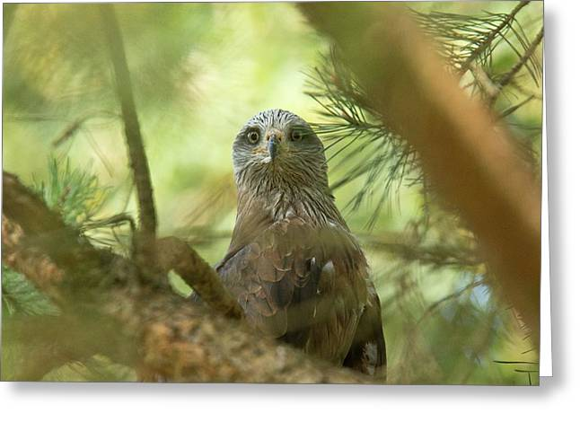 Red Kite In Pine Tree Greeting Card by Bob Gibbons