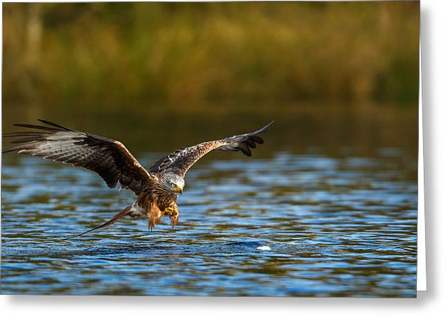 Red Kite Swooping Over Water Greeting Card
