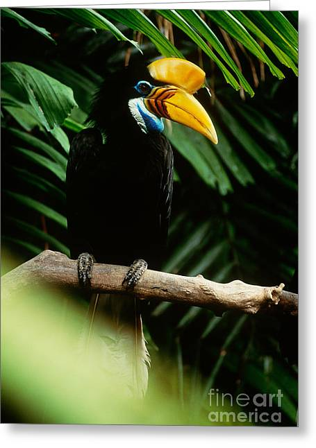 Red-knobbed Hornbill Greeting Card