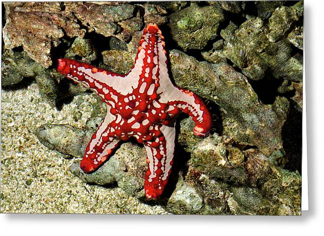 Red-knobbed Starfish Greeting Card by Nigel Downer