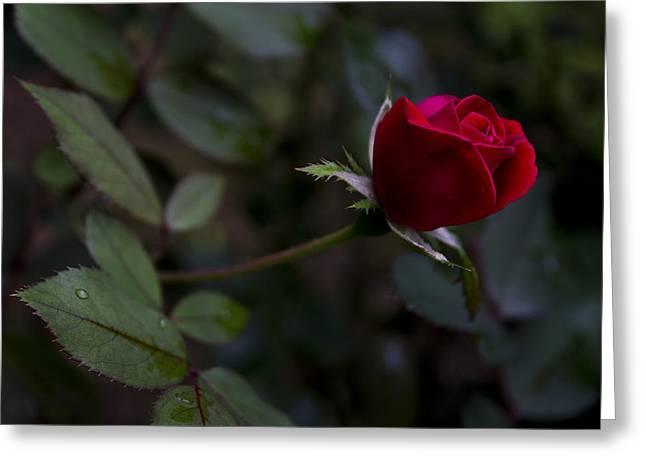 Red Knockout Rose Greeting Card