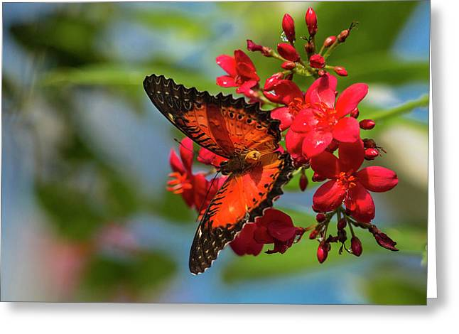 Red Lacewing Butterfly (cethosia Biblis Greeting Card by Chuck Haney