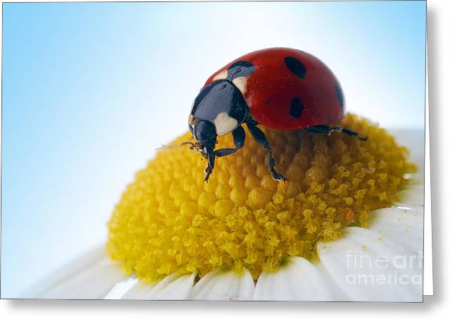 Red Ladybug And Camomile Flower Greeting Card by Boon Mee
