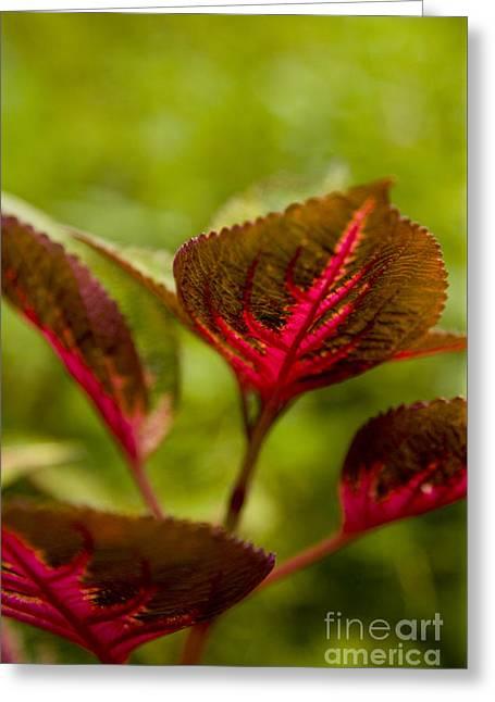 Red Leaf Greeting Card by Thomas Levine
