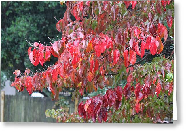 Red Leaves In The Rain Greeting Card by Carolyn Ricks