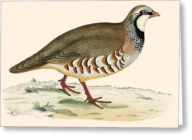 Red Legged Partridge Greeting Card by Beverley R Morris