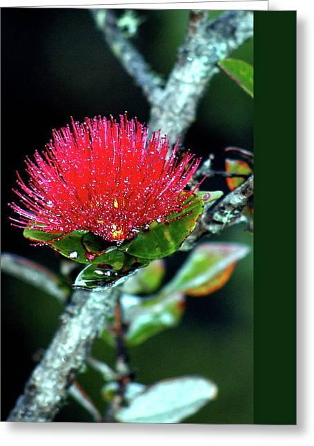 Red Lehua  Kawaiko'olihilihiokalikolehua Greeting Card