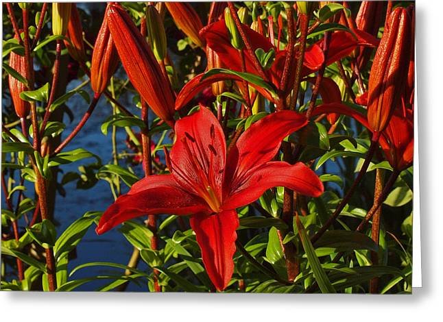 Red Lilies Greeting Card by Randy Hall