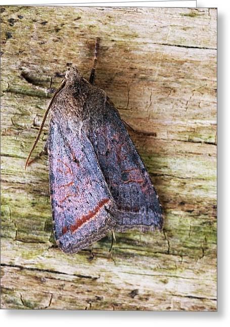Red Line Quaker Moth Greeting Card by David Aubrey