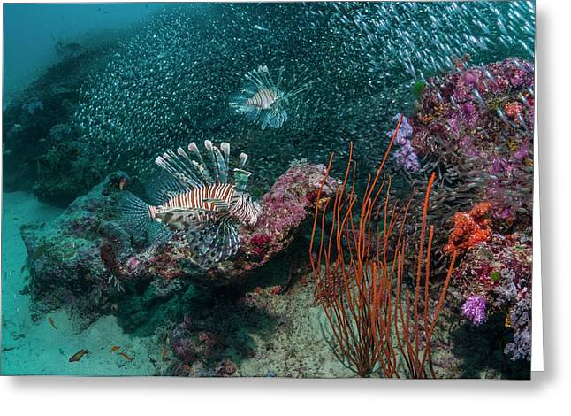 Red Lionfish Hunting Over A Coral Reef Greeting Card
