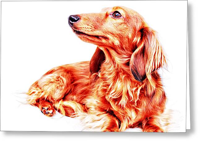 Red Longhair Dachshund  Greeting Card by Johnny Ortez-Tibbels