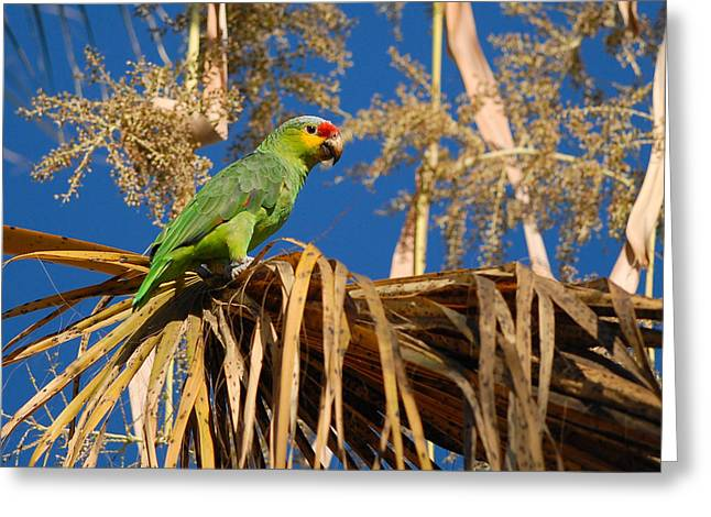 Red-lored Amazon In Palm Greeting Card