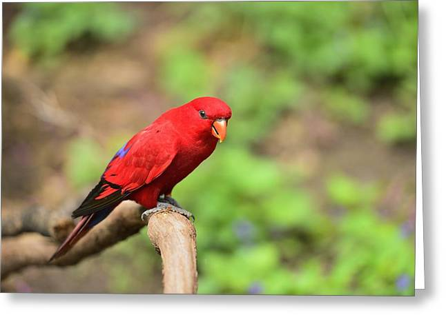 Red Lory Greeting Card by Photography  By Sai
