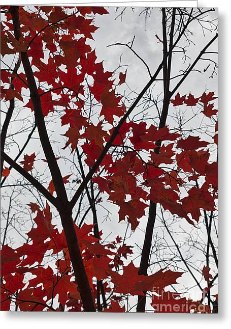 Red Maple Branches Greeting Card by Ana V Ramirez