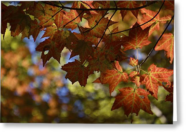 Red Maple Canopy Greeting Card