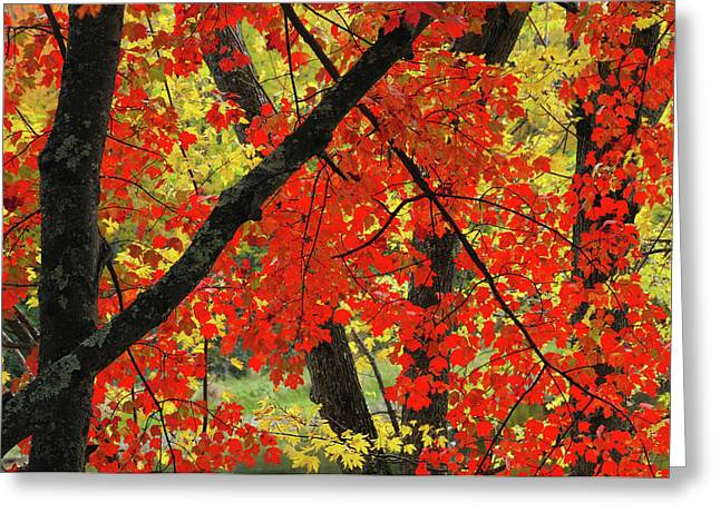 Red Maple Close-up, Sebago Lake State Greeting Card by Michel Hersen