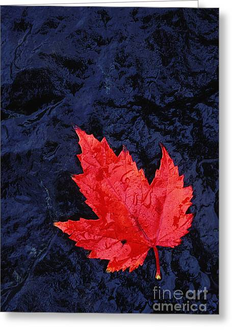 Red Maple Leaf And Black Stone - Fs000222 Greeting Card by Daniel Dempster