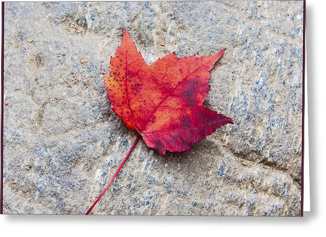 Red Maple Leaf On Granite Stone In A Square Format Greeting Card by Karen Stephenson
