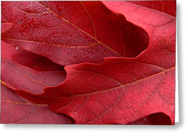 Red Maple Leaves Greeting Card by Jennie Marie Schell