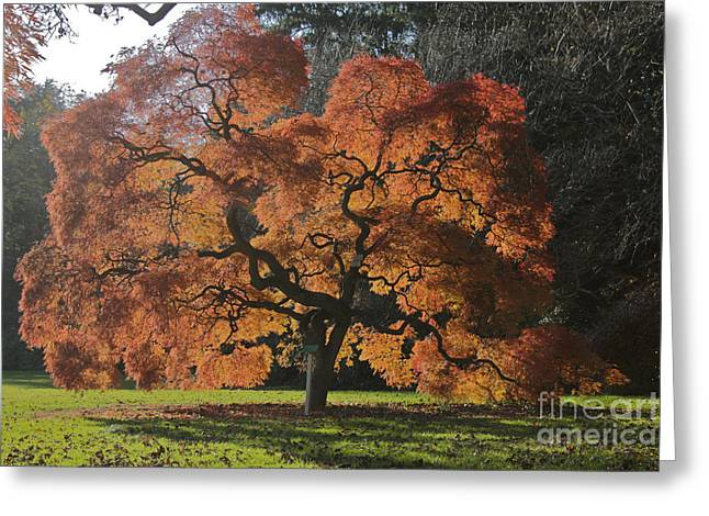 Red Maple Greeting Card by Linda Asparro