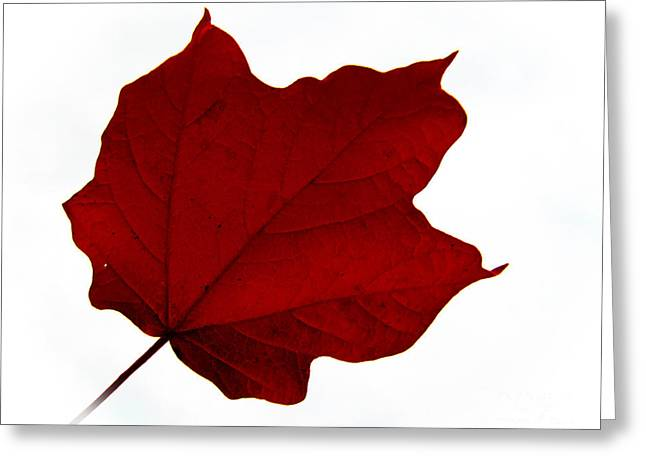 Red Maple Now Greeting Card by Tina M Wenger