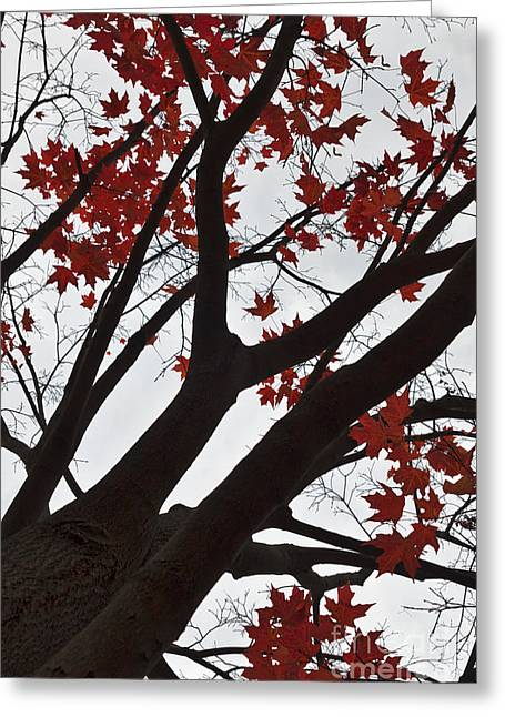Red Maple Tree Greeting Card by Ana V Ramirez